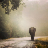 Thai wild elephant on the road ,Hua Hin Thailand
