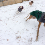 Three greyhounds running in the snow
