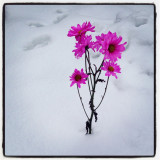 Pink flowers in snow