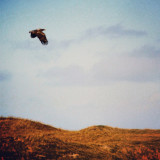The master of the Hebridean sky... Golden Eagle on patrol in the Machair of Daliburgh.