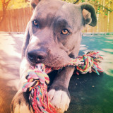 This is bentley from my pit bull friend.