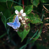 Common blue butterfly on a flower