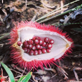 Fruit from the achiote tree (Bixa orellana) in the Brazilian Amazon. From the seeds you see here, annatto is extracted which is used in food coloring, various dyes and even make-up. #Brazil #Amazon #Jungle #southamerica #travel #travelgram #wanderlust #plants #trees #nature