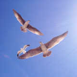 Three little birds.... flying gracefully in the San Diego sky over the ocean waves and seashore.