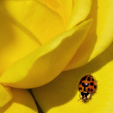 ladybug on yellow rose petal