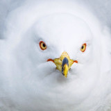 Portrait of an angry seagull