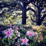 captured these azaleas through the morning light on my walk to work in downtown savannah. the city is gorgeous this time of year!