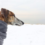 Spanish galgo experiences winter- and isn't happy about it.