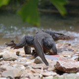 This guy came strolling out of the jungle whilst we were swimming in a waterfall in langkawi Malaysia!