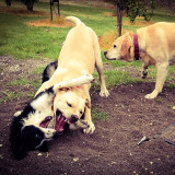 Jaq (Border Collie Pup) and Jemma (Labrador on right) playing with a new friend