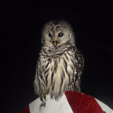 A Christmas owl. It likes candy canes.