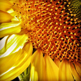 Memories of summer - a backlit sunflower in my mother in law's garden.