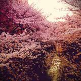 A shower of blossoms