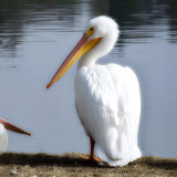 A pelican standing at the edge of a lake.