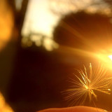 Dandelion dust lighted by golden hour sun.