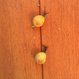 Two snails on wooden table
