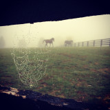 Close up of spider web, horses in background