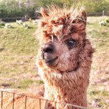 I snapped this Alpaca by a small farm around the corner from my house. I fell in love with him instantly - his teefers made me swoon!!