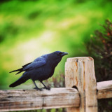 Crow on a Fence