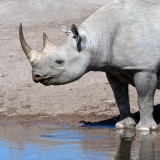 A rare Black Rhinoceros (Ceratotherium simum) in Etosha National Park in Namibia.