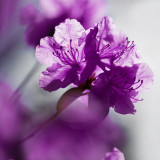 Ultra violet rhododendron flower in city garden,beautiful day light...#NOMINATED!