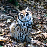 Owl at the Parque das Aves in Iguazu, Brazil.