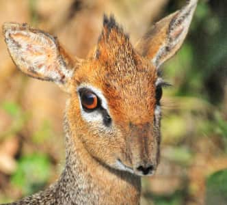 A dik-dik is a small antelope in the genus Madoqua that lives in the bushlands of eastern and southern Africa.  Dik-diks stand about 30–40 cm (12–16 in) at the shoulder, are 50–70 cm (20–28 in) long, weigh 3–6 kg (7–16 lb) and can live for up to 10 years. Dik-diks are named for the alarm calls of the females. In addition to the females' alarm call, both the male and female make a shrill, whistling sound. These calls may alert other animals to predators.
