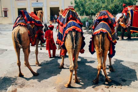 Cute Camel Butts