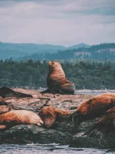 Sea lion overlooking his big family off the coast of Vancouver Island, BC