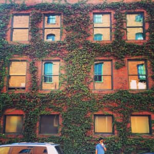 Wall with Boston ivy