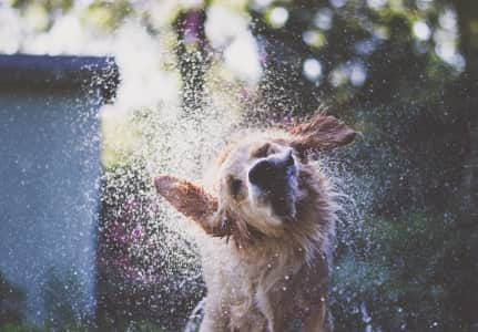 My golden retriever, Sunday, caught a ray of light and beautifully shook off water after a dip in the pool.