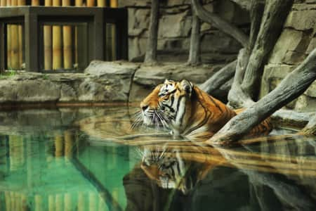 A tiger basking in the water cooling down after playtime with his brother