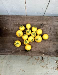 Fall harvest of Yellow tomatoes on a bench