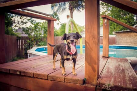 Happy small dog on pool deck with tongue sticking out.