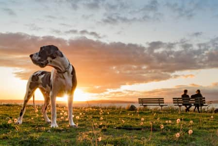 Handsome harlequin great dane dog standing majestically at sunset with couple chatting on park bench in background. RLTheis