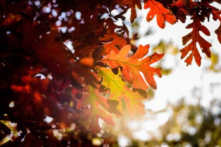 Brilliant red oak leaves in sunlight in fall. Leaves, leaf, oak, tree, oak leaves, fall colors, bright, light, beautiful, red, autumn colors, close up, macro, season, fall, autumn, outdoors, sunny, sunshine, beauty, nature