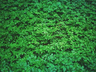 Green field clover