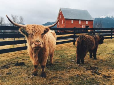 Scottish Highland Cow with calf