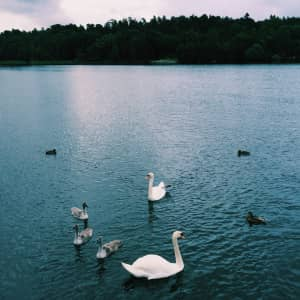 Mother swan and babies, blue lake and horizon, forest