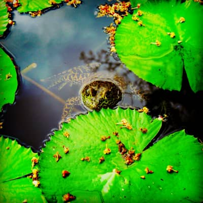 Frog beneath lily pads