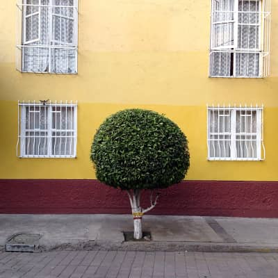 Clipped round tree on sidewalk against yellow house wall