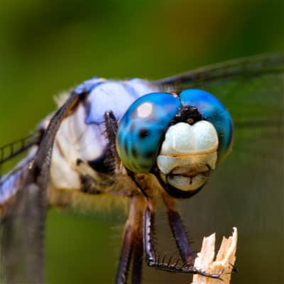 Awesome blue dragonfly!!!