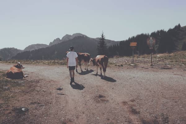 Wallberg, cows and I