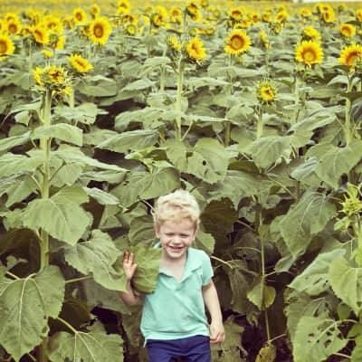 Toddler in a field of Sunflowers