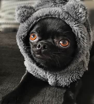 Chihuahua getting ready for winter