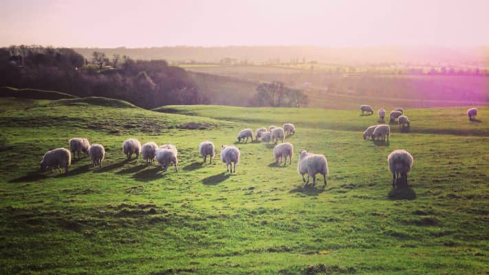 Sheep grazing in green field, natural light, outdoors, countryside, farm, green, grass, nature, animals, feed