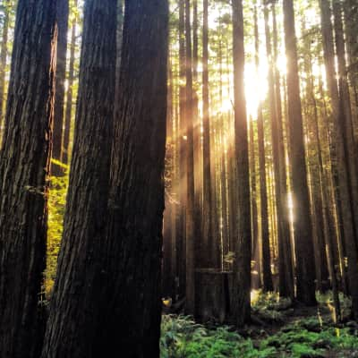 sunlight coming through the trees in the Redwood Forest in Northern California