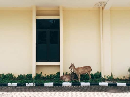 WILD URBAN: Isn't it fun to find a pair of wild deer in a hospital complex? (at least I assume they are wild)