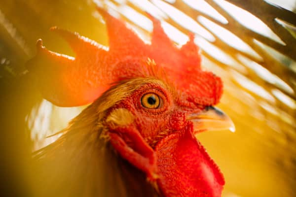 Rooster eye