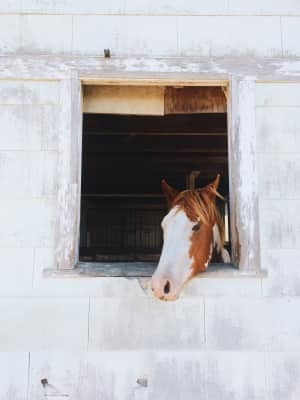 a horse peaking it's head out of the barn window